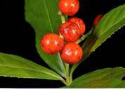 Những thảo dược có công dụng tốt với bệnh gút