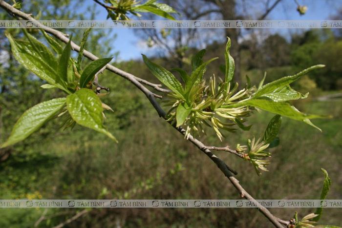 Đỗ trọng - Các loại cây chữa bệnh xương khớp