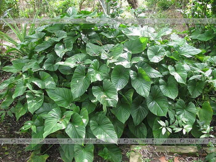 Cây Thiên niên kiện - Các loại cây chữa bệnh xương khớp