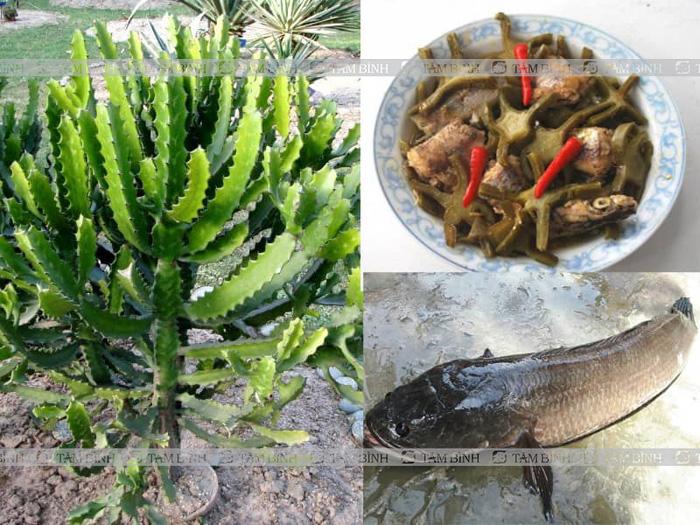 Cá lóc, cây xương rồng ba chia