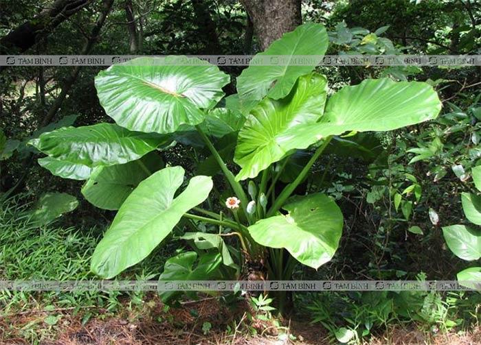 Bên ngoài cây củ ráy có hình dạng giống cây khoai nước