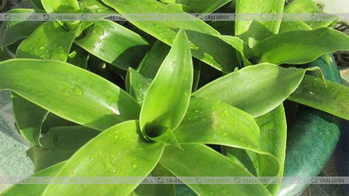 Sử dụng cây lược vàng giúp giảm cơn đau co thắt đại tràng hiệu quả