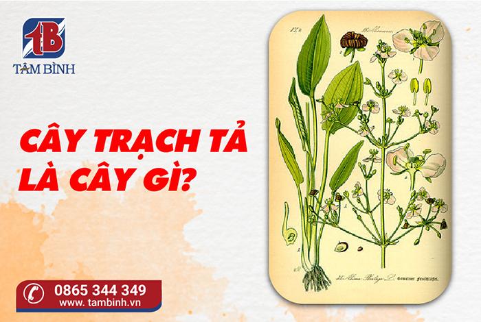 cây trạch tả là cây gì