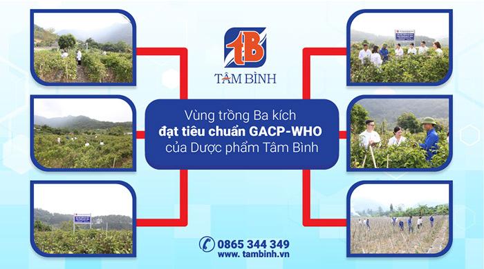 Vùng trồng Ba kích đạt tiêu chuẩn GACP-WHO của Dược phẩm Tâm Bình