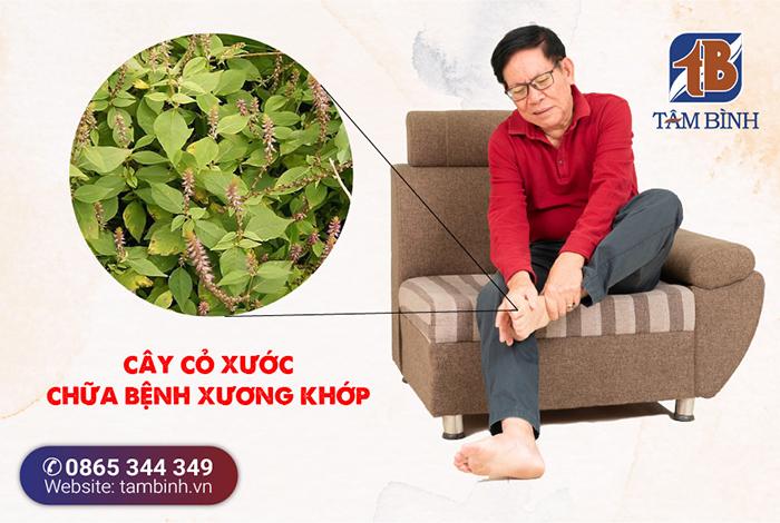 cây cỏ xước chữa bệnh xương khớp